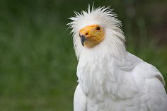 Egyptian Vulture White Scavenger Vulture or Pharaoh's Chicken (Neophron percnopterus) in the Zoo of Madrid Spain. Belize, In The Zoo, Egypt Travel, Vulture, Birds Of Prey, Bird Feathers, Beautiful Birds, Old World, Animal Kingdom
