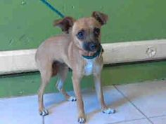 #A4753589 My name is Virgina and I'm an approximately 4 month old female chihuahua sh. I am not yet spayed. I have been at the Carson Animal Care Center since September 7, 2014. I am available on September 7, 2014. You can visit me at my temporary home at C242. Carson Shelter, Gardena, California https://www.facebook.com/171850219654287/photos/pb.171850219654287.-2207520000.1410291620./304859369686704/?type=3&theater