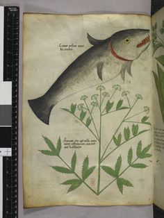 Herbal Manuscript (Sloane British Library, created in Italy (Lombardy), c. Vintage Illustration Art, Botanical Illustration, Fish Illustration, Medieval Manuscript, Illuminated Manuscript, Identify Plant, Fish Tales, Plant Painting, Library Catalog