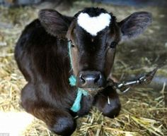 White Heart On Baby Cow