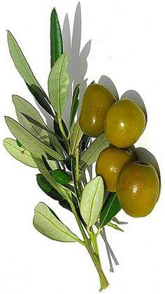 ~Benefits of Olive oil Olive Oil Nutrition, Olives, Mediterranean Diet Food List, Olive Oyl, Olive Oil Bottles, Olive Tree, Benefit, Green, Plants