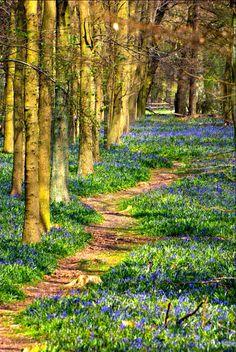 Bluebell path (Ashridge, England) by Ken Douglas