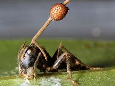 """A stalk of the newborn fungus species Ophiocordyceps camponoti-balzani, grows out of a """"zombie"""" ant's head in a Brazilian rain forest. At first thought to be a single species, called Ophiocordyceps unilateralis, the fungus is in reality four distinct species—all of which can """"mind control"""" ants .  The fungus species can infect an ant, take over its brain, and then kill the pest once it moves to a position ideal for the fungi to grow and multiply their spores."""