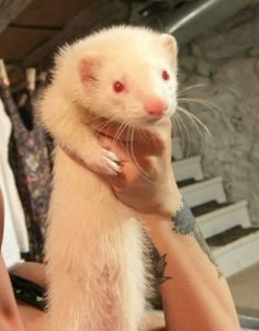 Gaia, my 4 month old female albino ferret. Ferret fans, feel free to re-pin:) Uploaded by Jenna Johnson. #baby #albino #ferret #kit