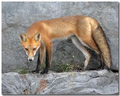 Red Fox | Red Fox - Canon Digital Photography Forums