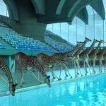 5 Mètres 80: An Absurd Animation Depicting a Herd of Giraffes Leaping Off a High Dive by Nicolas Deveaux