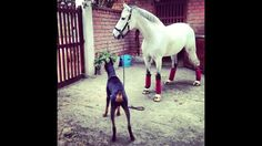 """The amazing relationship between Boss the doberman and Contino the horse. Known as the """"Horse Whisperer"""", Boss has had no complaints when it comes to taking"""