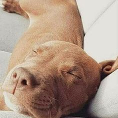 Cute Puppies, Cute Dogs, Dogs And Puppies, Doggies, Animals And Pets, Baby Animals, Cute Animals, Rottweiler, American Pitbull