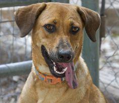 Snickers Labrador Retriever & Shepherd Mix • Young • Female • Large Cinderella Pet Rescue, Inc. Penitas, TX
