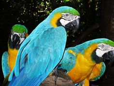 "Parrots Oh, how I miss my beautiful Blue & Gold McCaw, ""McGregor"". He was mute...he was so sweet, and he passed away from an upper respiratory infection. I will always, ALWAYS blame myself for his premature death. RIP...and forgive me. Lynn 7/17/15"