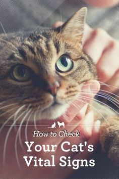 How to Check Your Cat's Vital Signs. For those of us who really love cats, their air of independence and mystery is just one of the things that makes them absolutely irresistible. However, when it comes to figuring out what is going on with a cat's health Cat Care Tips, Dog Care, Pet Tips, Cat Symptoms, Cat Health Care, Health Tips, Sick Cat, Mystery, Check Up