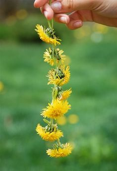 Dandelion Daisy Chains - fun for kids to make and wear
