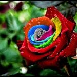 The Rainbow Roses ! It's Awesome. The Rainbow roses were created by Dutch flower company owner Peter VanDe Werken, who produced them by developing a. Rainbow Flowers, Rainbow Colors, Rainbow Stuff, Rainbow Bouquet, Rainbow Art, Rare Flowers, Pretty Flowers, Flax Flowers, Flowers Nature