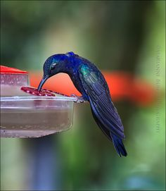Violet Sabrewing by Marianne Bush, via 500px