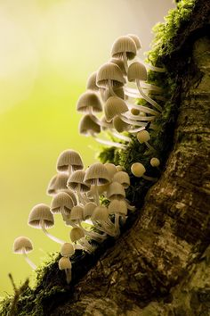 Mycena fungi by smir_001 on Flickr