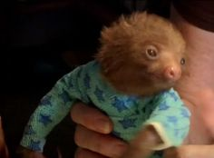 What do you do when orphaned baby sloths are afflicted with mange? Shave them, rub them with lard, and wrap them in sloth pajamas.