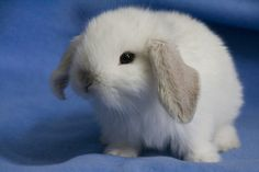 I would love a mini lop like this to clicker train for Animal Assisted Therapy