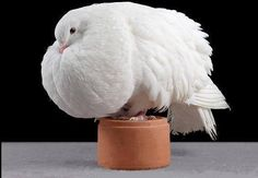 fancy pigeons fancy pigeons jacobin fancy pigeons varieties fancy pigeons king white fancy pigeons fancy pigeons for sale in kerala race pigeon for sale Peace Pigeon, Pigeon Bird, Birds And The Bees, Kinds Of Birds, Fantail Pigeon, Pigeons For Sale, Pigeon Pictures, Pigeon Loft, Racing Pigeons