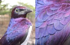 Violet-backed starling with iridescent feathers