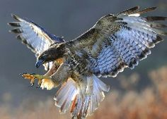 falcon, landing, wings x 1600 px] - Animals/Birds - Pictures and wallpapers Eagle Wallpaper, Tier Wallpaper, Animal Wallpaper, Drawing Wallpaper, 1080p Wallpaper, All Birds, Birds Of Prey, White Tailed Eagle, Hawk Bird