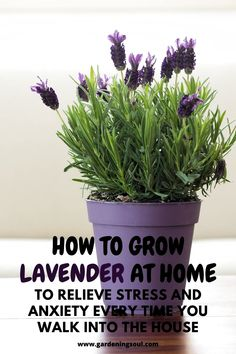 Growing lavender - How To Grow Lavender At Home To Relieve Stress And Anxiety Every Time You Walk Into The House – Growing lavender Growing Lavender Indoors, Growing Plants, Growing Lavender From Seed, Growing Herbs Indoors, Indoor Lavender Plant, Lavender Plant Care, Lavender Plants, Mint Plants, Cactus Plants