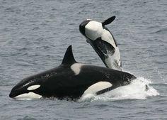 Orca Whales. Beautiful, majestic. I love them.