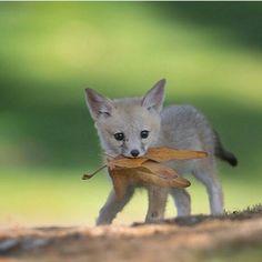 "32.4k Likes, 420 Comments - The Globe Wanderer (@theglobewanderer) on Instagram: ""Follow @animaladdicts for more incredible wildlife & animal photos! @animaladdicts  San Joaquin kit…"""