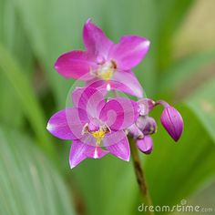 Image of blossom, elegant, event - 63341220 Orchids, Vectors, Roots, Bouquet, Delicate, Bloom, Sign, Stock Photos, Elegant