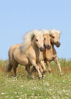 3 shetland ponies mares Daisy, Evi and Favourite Karolina Wengerek, Poland http://www.heartofahorse.org/