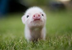 I want one. Give me a teacup pig. Seriously. Look at it. It's SO STINKING CUTE!!!