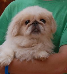 Sylvester is a tranquil, darling Pekingese debuting for adoption today at Nevada SPCA (www.nevadaspca.org).  His background is mostly unknown, except that he was at another shelter and needed our help for dental care.  Sylvester is gentle and affectionate, about 10 years of age, neutered, and good with other sweet dogs.