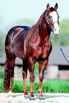 The late, great Smart Chic Olena, 1985-2012, rest in peace. This AQHA stallion has offspring earnings topping $ ten million in the reining, reined cow horse and cutting arenas. He sired 54 registered Paint Horses including APHA WC's Made In Montana, Smokin Chic Olena, and APHA RWC Olenas Conductor. Owner Bill Richardson said Smart Chic Olena spent his final months grazing peacefully in the pasture next to his longtime mare friend, Brooksinic. From Quarter Horse News & Official APHA fb pages.