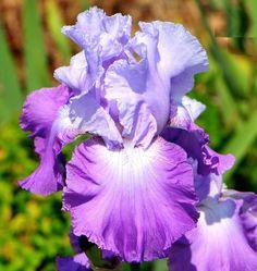 TB Iris germanica 'Cumulus' (Cayeux, 2000) Iris Violet, Purple Iris, Iris Flowers, Purple Flowers, Beautiful Flowers, Growing Irises, Dutch Iris, Iris Painting, Bearded Iris