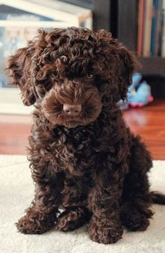 Chocolate Goldendoodle, Chocolate Poodle, Chocolate Chocolate, Super Cute Puppies, Cute Dogs, Baby Dogs, Dogs And Puppies, Doggies, Poodle