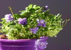 La vraie violette de Toulouse / The true Toulouse violet ©Dominique Viet - Maison de la violette #visiteztoulouse #toulouse #violet #flower