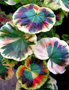 Variegated #Geraniums (Pelargonium Hortorum)  How to grow care tips: http://www.houseplant411.com/askjudy/variegated-geranium