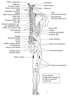 Straight from the best source, this is the most comprehensive list of Chapman's Reflexes or Chapmans Points that I could find on the internet. These images are from Foundations of Osteopathic…