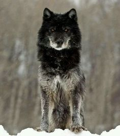 This is my wolf form Like it?
