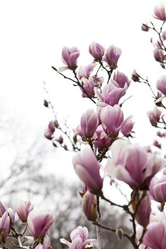 It's almost magnolia time.  I have beautiful white buds on mine.  Love love love them