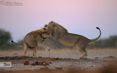 Twilight Tussle by morkelerasmus. Please Like http://fb.me/go4photos and Follow @go4fotos Thank You. :-)