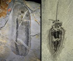 Left, black and white bean-shaped fossil ; Right, a fossil of a more complex organism, with a distinct head with antennae-like structures, and villi around its body.