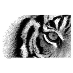 Eye of the Tiger Pen and Ink Drawing