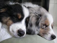 Australian Shepherd Puppies Black Tri and Blue Merle