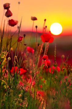 The sun is setting over a field of wild flowers.