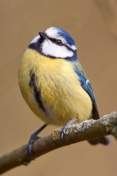 Blue Tit | Flickr - Photo Sharing!