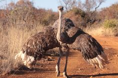Common Ostrich female