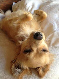 Tired fellow. Russian toy terrier. http://www.russiandog.net/miniature-terrier.html