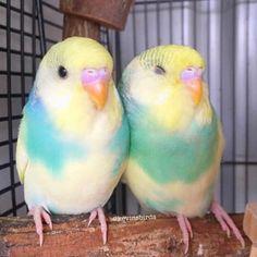 You are the prettier one! Funny Birds, Cute Birds, Pretty Birds, Beautiful Birds, Budgie Parakeet, Budgies, Cockatiel, Parrots, Bird Pictures