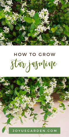 To Care For & Grow Star Jasmine Star Jasmine, or Trachelospermum jasminoides, has glossy foliage & sweetly scented flowers. It's versatile & can be trained in many ways. Here's how to care for & grow Star Jasmine. Jasmine Plant, Jasmine Jasmine, Jasmine Star, Outdoor Plants, Garden Plants, Fence Plants, Gardening For Beginners, Gardening Tips, Gardening Books