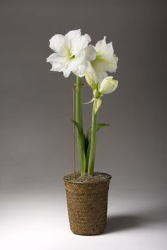 Adjustable Amaryllis Stake | Metal Plant Support | Gardeners.com